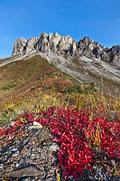 Bearberry in autumn red color, Snowden mountain, Brooks range, arctic, Alaska.