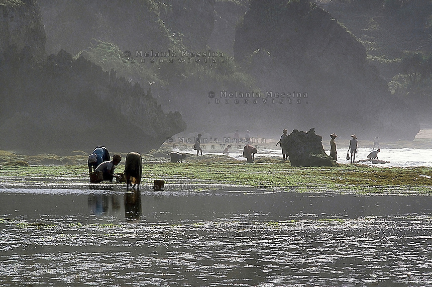 Indonesia, Java Island: harvesters of seaweed.<br />