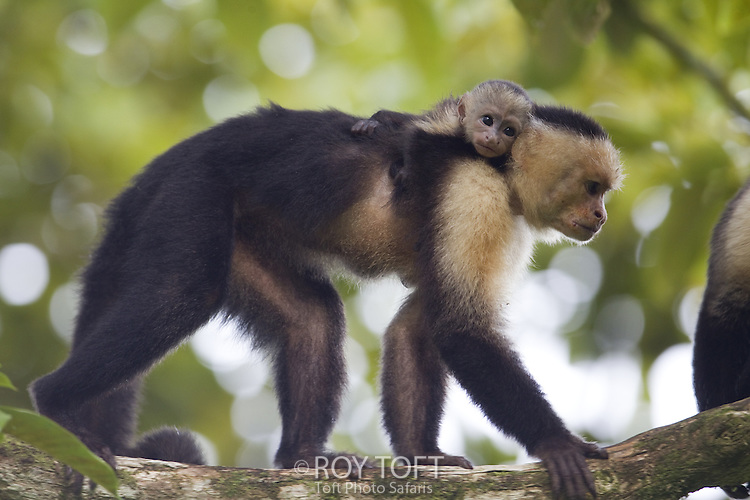 Capuchin Monkey Pictures Capuchin Monkey Cebus