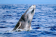 humpback whale newborn calf, breaching, Megaptera novaeangliae, Big Island, Hawaii, Pacific Ocean
