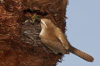 The male Bewick's Wren sings to defend his nesting territory and to attract a mate. He starts one or more nests in various cavities, usually natural crevices, old woodpecker holes, nest boxes, or other artificial structures.