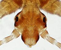 ECTOPARASITE<br /> Head Louse, Pediculus humanus, LM 40x mag<br /> Light microscope image showing head of Pediculus humanis, showing detail of the eyes (lens, cornea, retina), antennae, and mouthparts.