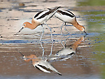 An American Avocet pair (Recurvirostra americana) feeds in a small pond in Thornton, Colorado