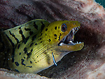 A cleaner wrasse darts around a patient fimbriated moray eel, in a barrel sponge at the bottom of the Lembeh Strait (North Sulawesi, Indonesia).