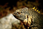 Ecuador: Galapagos..Land Iguanas..Photo Copyright Lee Foster, 510/549-2202, lee@fostertravel.com, www.fostertravel.com...Photo #: galapa105