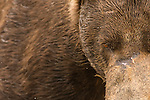 A portrait of a coastal brown bear in Katmai National Park, Alaska.