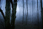 Tall trees and mist