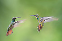 Female (right) and male (left) Green-breasted Mango (hummingbird) (Anthracothorax prevostii) in flight. Hovering in front of feeder. Montane rainforest, Rancho Naturalista Lodge, Caribbean slope, Costa Rica.