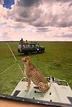 Cheetah sits on safari vehicle, Masai Mara National Reserve, Kenya