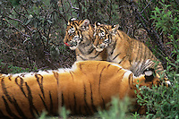 684080047 a captive mother and two cub siberian tigers panthera tigris altaicia with the cubs staying close for protection species is highly endangered native to the high steppe plateaus of central asia and this is a wildlife rescue animal