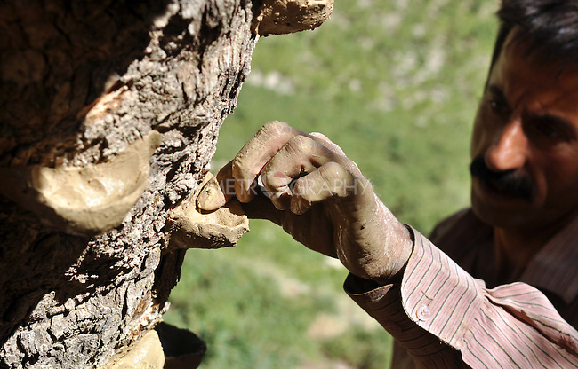 GALALA, IRAQ: Mohammad Abdul Rahman attaches a clay cup which will catch tree sap that will be made into traditional Kurdish chewing gum.<br /> <br /> Bnysht, a Kurdish is chewing gum made from the sap of the Daraban tree.  The sap is only harvested during July and August for 6 weeks using clay cups to catch the liquid as it is drawn for the tree's bark.<br /> <br /> Photo by Aram Karim