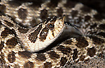 Western Hognose Snake, Heterodon nasicus, USA, portrait forked tongue scales skin pattern.USA....