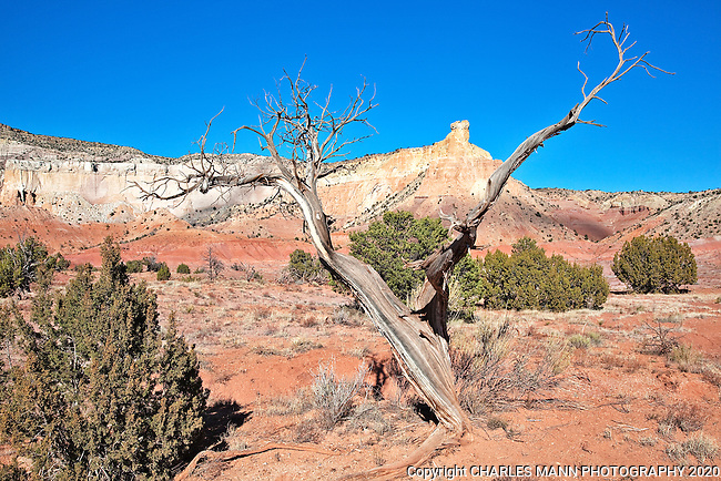 This ancient juniper growing near Georgia O'Keefe's ranch house at Ghost Ranch near Abiquiu is believe to be the actual subject tree of her painting titled Gerald's Tree.