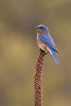 Eastern Bluebird on Muellin