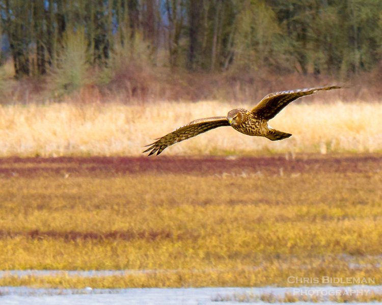 A Northern Harrier (aka Marsh Hawk) is flying low with his wings spread out over the pond and grasses in the Ridgefield National Wildlife Refuge.