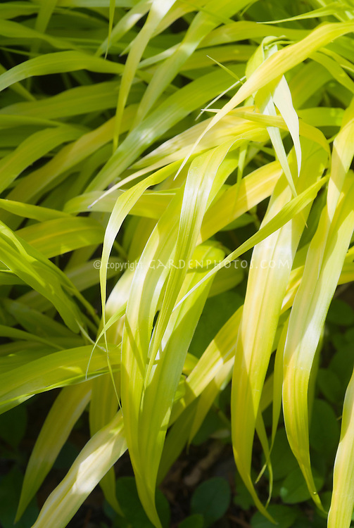 Hakonechloa macra all gold plant flower stock for Yellow ornamental grass