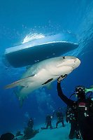 RW2278-D. Tiger Shark (Galeocerdo cuvier) swims overtop scuba divers during an offshore baited dive organized for shark enthusiasts. Tourists in the background take pictures while the experienced dive master gently strokes the underside of a 12 foot long female shark. Bahamas, Atlantic Ocean.<br /> Photo Copyright &copy; Brandon Cole. All rights reserved worldwide.  www.brandoncole.com