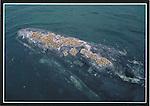 FB 238,  gray whale