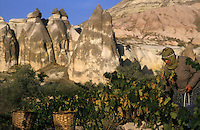 GOREME, CAPPADOCIA, TURKEY, AUGUST 2003. A local woman harvests the grapes in one of the valleys around Goreme. The valleys with their conical shaped Tuffstone rock formations are littered with ancient christian churches, hideouts and green orchards of the current population. Photo by Frits Meyst / MeystPhoto.com