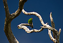 Red-crowned Parakeet (Cyanoramphus novaezelandiae), vulnerable specie, Auckland Island, New zealand