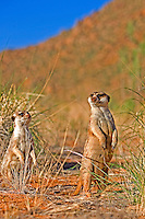 Adult Meerkats (Suricata suricatta) standing on hind legs looking around, Namibia.