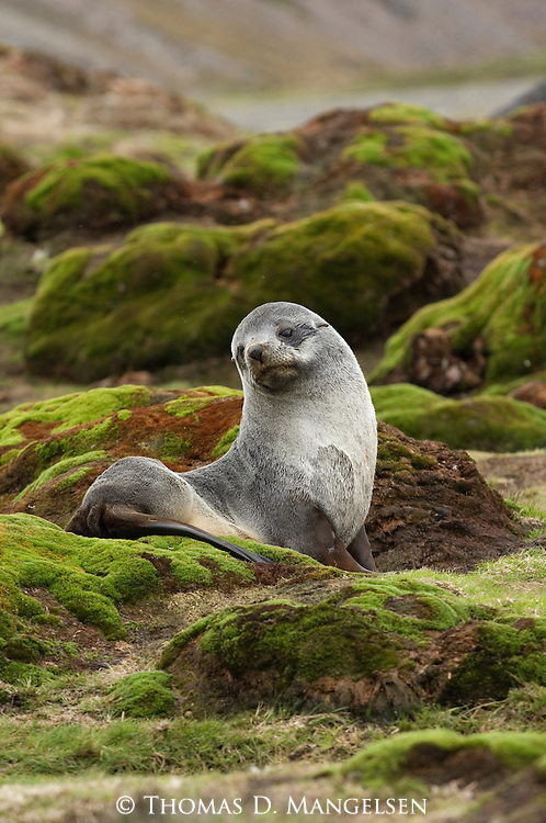 Portrait of an Antarctic fur seal in Stromness on South Georgia.