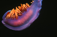 Flabellina iodinea nudibranch