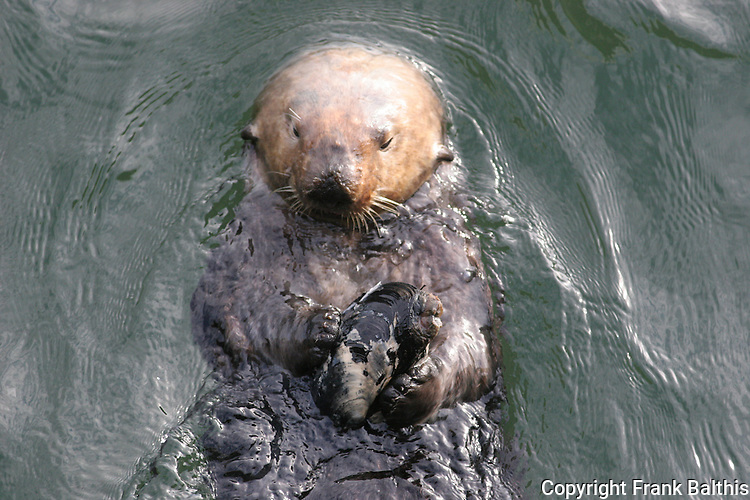 sea otter eating shellfish