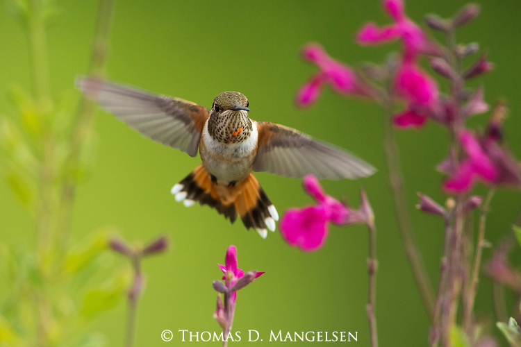 A rufous hummingbird forages among the bright flowers in Northwest Wyoming.