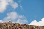 A mountain goat walks along a ridgeline near Logan Pass in Glacier National Park, Montana.