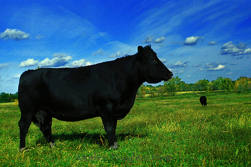 Black cow in blue and green field
