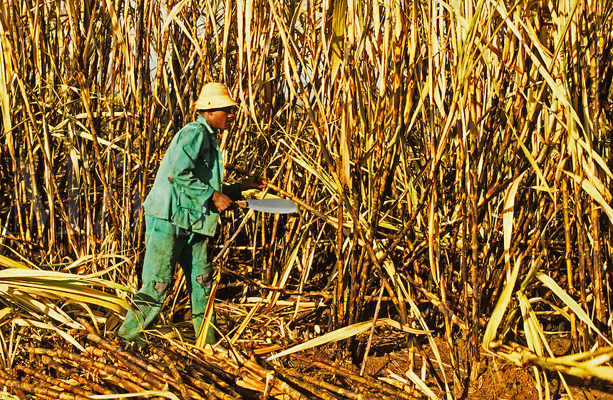 Cutting sugar cane at harvest time.