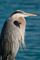 BIRDS<br /> Blue Heron<br /> Ardea Herodias near water in Ponte Vedra Beach, FL