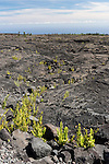 Hawai'i Volcanoes National Park, Big Island of Hawaii, Hawaii; ferns grow in the lava flow from Mauna Ulu which erupted in 1969 and flowed for over 4 years
