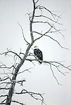 A Bald Eagle perches in a bare tree while snow falls in Grand Teton National Park.