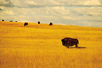 South Dakota. Badlands National Park, Buffalo established in 1978