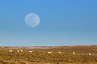 Full moon, pronghorn antelope, Farson Wyoming.