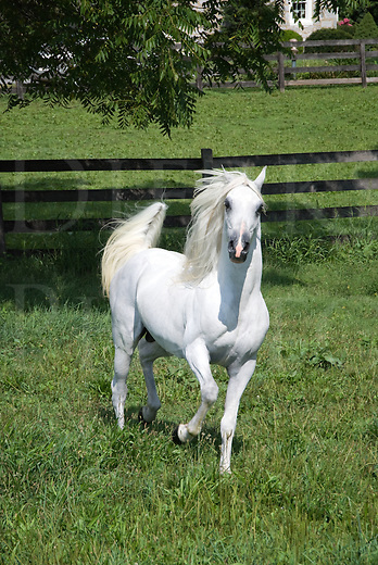 Running white Arabian stallion with flagging tail and fluffed mane slows to look head on at the camera.