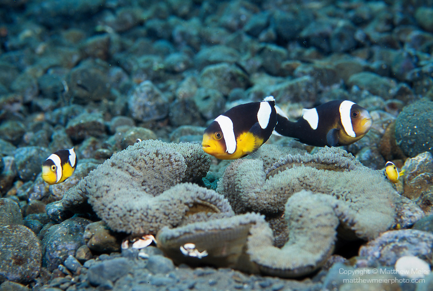 Milne Bay, Papua New Guinea; Saddleback Anemonefish (Amphiprion polymnus), to 12 cm (5 in.), usually live with Haddon's Anemone on sandy bottoms in 2-35 meters, found in Indonesia and N. Australia to Solomon Islands, north to S.W. Japan , Copyright © Matthew Meier, matthewmeierphoto.com All Rights Reserved