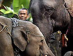An old mahout with his working Asian elephant (elephas maximus)and her offspring in training at Hongsa, Laos.