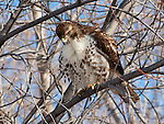 A Red Tailed Hawk puffs its feathers for warmth on a cold winter day while scanning the ground for potential prey