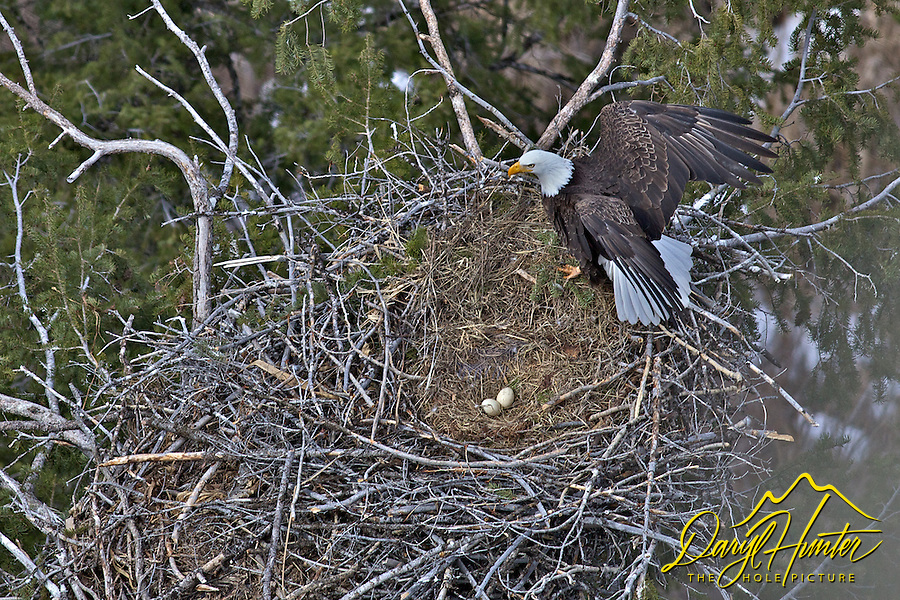 Bald eagle nest with eggs - photo#26
