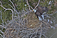 Eagles nest, bald eagle, eagle eggs,  Idaho