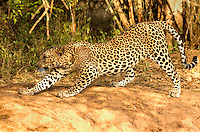 A leopard displays a charcteristic forward stretch employed by all cats before becoming active, following a period of rest.
