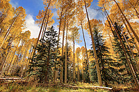 October Gold - Arizona - Flagstaff - Fall - Autumn