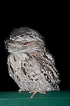 Tawny Frogmouth cleans eyeball with its nictitating membrane, Brisbane Australia.//  Tawny Frogmouth - Podargidae: Podargus strigoides. Length to 50cm, wingspan to 80cm, weight to 500g. Also known as Tawny-shouldered Frogmouth (or, incorrectly, Mopoke, Morepoke, Frogmouth Owl). Found in open woodland throughout Australia, Tasmania, southern New Guinea. Nocturnal, preys on arthropods such as insects and spiders, and small vertebrates scooped up with its broad, frog-like beak.  Weak anisodactyl toes are useless for catching prey. This bird flicks its nictitating membrane (third eyelid) across its eyeball to clean and lubricate it.  IUCN Status: Least Concern.   //Eric Lindgren//