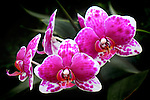Orchidaceae