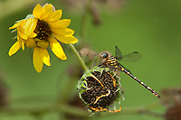 341750013 a wild female ringed forceptail phyllocycla breviphylla perches on a dead sunflower along the rio grande river near the naba facility in the lower rio grande valley in south texas