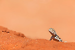 Ground agama, Agama aculeta,basking on red dune, Kgalagadi Transfrontier Park, Northern Cape, South Africa