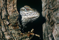 442300001 a wild texas spiny lizard sceloporus olivaceus peers out from behind a mequite log in the rio grande valley of south texas